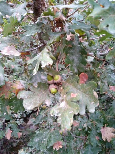 ghiande di quercia